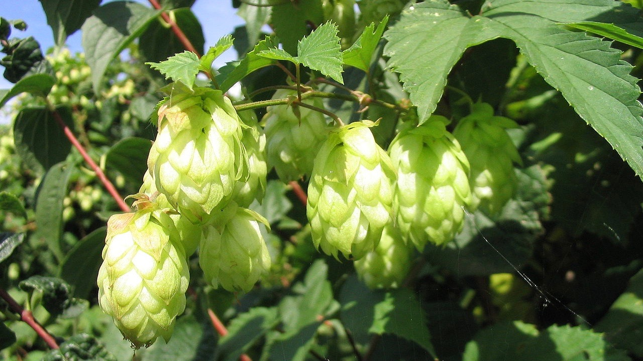 Growing and harvesting hops isn't easy, but it's a growing New York industry
